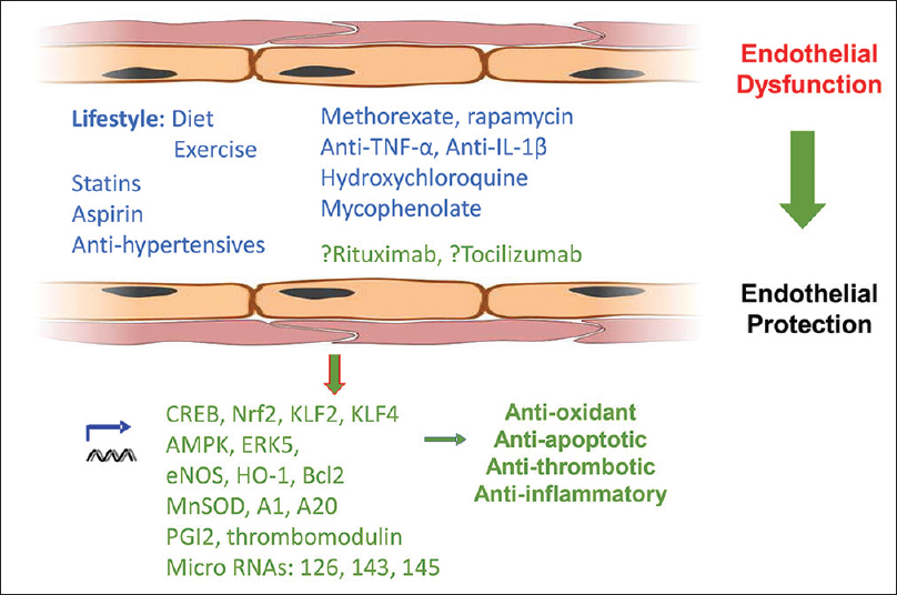 Figure 3: Therapeutic vascular protection. On account of its reversibility and link to atherogenesis, endothelial dysfunction represents an important potential therapeutic target. Current therapies including statins, aspirin, and individual DMARDs offer some vasculoprotection. Emerging evidence suggests antitumor necrosis factor-α and interleukin-1 may also reduce the risk of cardiovascular events while data for tocilizumab, rituximab, and other biologic therapies are awaited. The switch from endothelial dysfunction to endothelial homeostasis is influenced by activity of a variety of genes including eNOS, HO-1, A1, A20, prostacyclin, MnSOD, and thrombomodulin. Important transcriptional pathways include AMPK, ERK5, CREB1, KLF2, KLF4, and Nrf2. The role of microRNAs in regulating responses in the vasculature is increasingly understood. AMPK: AMP: Activated protein kinase, Bcl-2: B-cell lymphoma protein, CRE: CAMP response element, eNOS: Endothelial nitric oxide synthase, HO-1: Heme oxygenase-1, KLF: Kruppel-like factor, MnSOD: Manganese superoxide dismutase, NO: Nitric oxide, Nrf2: NF-E2-related factor-2, PGI2: Prostacyclin