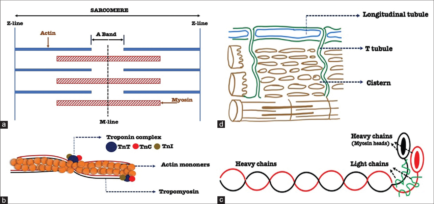 Figure 1: Ultrastructure of a skeletal muscle fiber. (a) Arrangement of thin (actin) and thick (myosin) filaments and the Z line in a relaxed skeletal muscle. (b and c) Structure of actin and myosin filaments (with their components). (d) Sarcotubular system